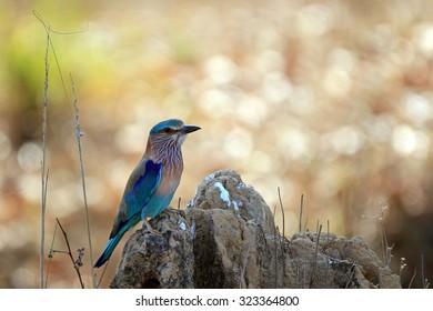 Indian Roller (Coracias Benghalensis). Kanha National Park, Madhya Pradesh, India