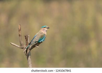 Indian Roller (Coracias benghalensis) - Resting