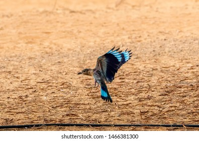 indian roller landing on the ground, abudhabi, uae