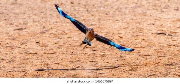 indian roller take off, abudhabi , uae