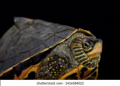 Indian roofed turtle (Pangshura tecta)