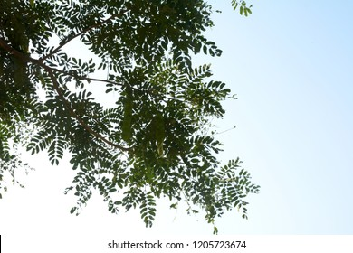 indian rosewood tree branches view from rural area