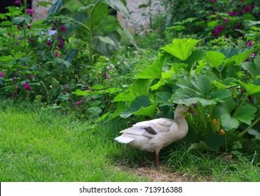 Indian runner, a popular breed of ducks in the summer garden. Hunters of slugs, ideal for ecological and permaculture gardening. Cute ducks with upright walking.
