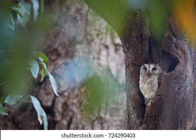 Indian scops owl, Otus bakkamoena, staring from tree hollow directly at camera. Typical owl of indian dry forest. Scops owl in its typical environment. Owl resting in tree cavity. Ranthambore, India.