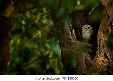 Indian scops owl, Otus bakkamoena, rare bird from Asia. Malaysian beautiful owl in the nature forest habitat, hidden in the tree in the dark green tropical forest.