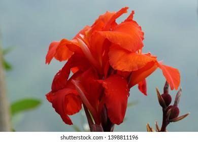 Indian shot or African arrowroot, Sierra Leone arrowroot,canna, cannaceae,