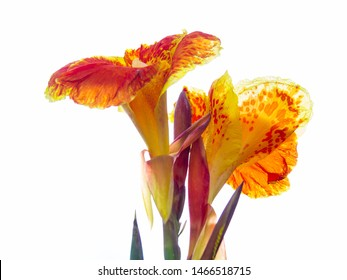 Indian shot or African arrowroot, Sierra Leone arrowroot,canna, cannaceae on white background, canna lily