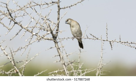 An Indian Silverbill or White-throated Munia bird on a thorny branch in desert - Bahrain