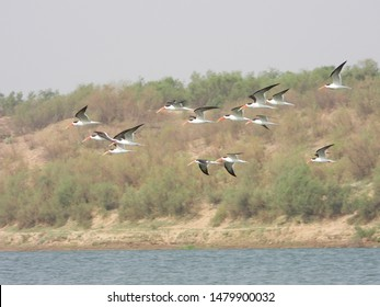 Indian Skimmer on the Chambal River