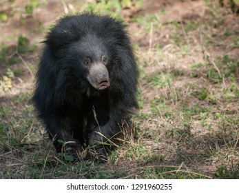 Indian Sloth bear in Ranthambore National Park in Rajasthan, India