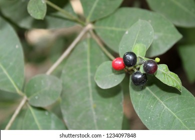 Indian snakeroot's leaves and fruits(Rauwolfia serpentina). Other names English serpentine wood, Bengali Chandra, Hindi Chandrabagha, Chota chand, Kannada Patalagondhi, Sarpagandhi, Shivavabhiballi