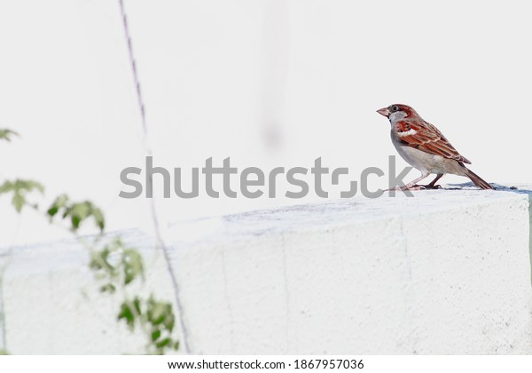 Indian Sparrow Close View Of Sparrow Sitting On Wall