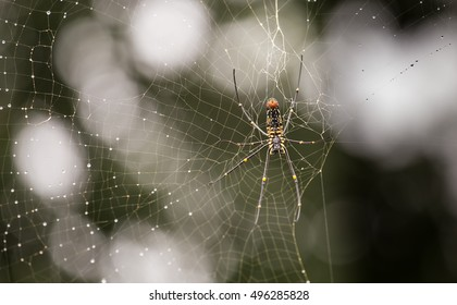 Indian spider in web