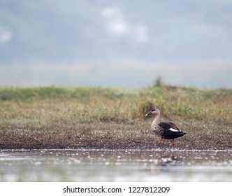 Indian Spot billed Duck