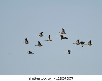 Indian Spot billed Duck  flying