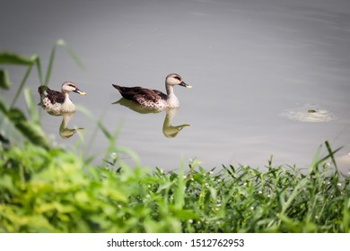 Indian spot billed duck swimming in water
