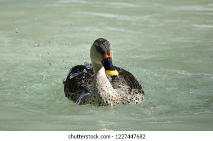 Indian spot-billed duck is a large dabbling duck. it is a non-migratory breeding duck throughout freshwater wetlands in the India. The name is derived from the red spot at the base of bill.