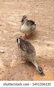 Indian spot-billed duck, pair of duck, Two duck near water source.
