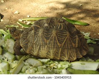 Indian star tortoise (Geochelone elegans) at Indroda Nature Park, Gandhinagar, India