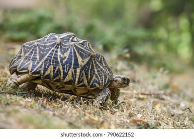 Indian Star Tortoise - Geochelone elegans, Sri Lanka