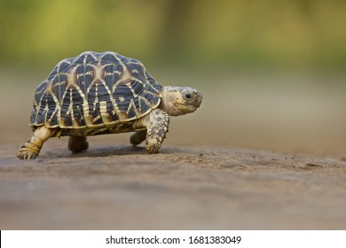 Indian Star Tortoise at Indroda Nature Park, Gandhinagar, India