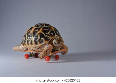 Indian star Turtle on skateboard white background concept photography