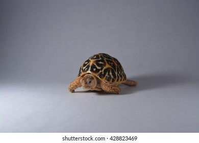 Indian star Turtle white background concept photography