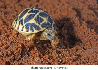 Indian Starred Tortoise, Geochelone elegans, Tamil Nadu, South India