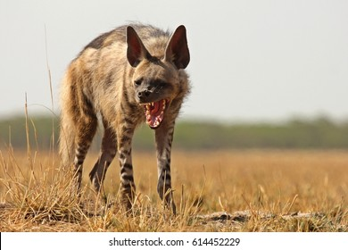 Indian Striped Hyena showing its powerful jaws at Blackbuck National Park, Velavadaar, Bhavnagar, India