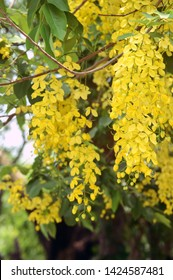 indian summer is denoted by Amaltas or cassia fistula flower commonly known as golden flower family fabaceae