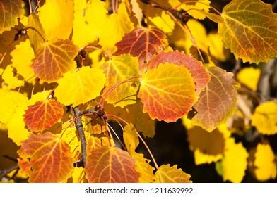 Indian summer. Golden fall. A branch of aspen ordinary (Populus tremula,  trembling poplar)