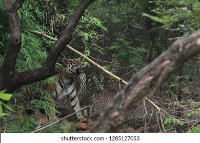 Indian Tiger Behind The Trees At Kanha National Park India