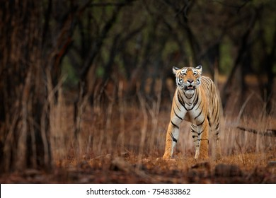 Indian tiger with first rain, wild dangerous animal in the nature habitat, Ranthambore, India. End of dry season, monsoon. Tiger walking in old dry forest.