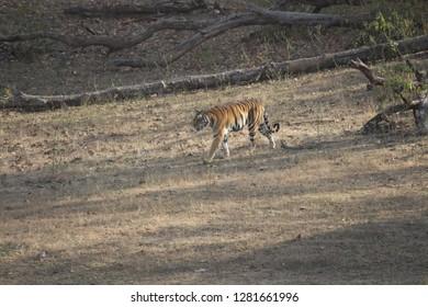Indian Tiger at Kanha National Park India