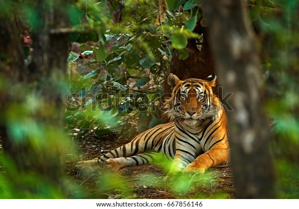 Indian tiger male with first rain, wild animal in the nature habitat, Ranthambore, India. Big cat, endangered animal. End of dry season, beginning monsoon.