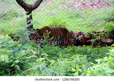 Indian Tiger Walking on Forest at Kanha National Park India