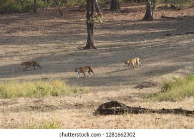 Indian Tigers at Kanha National Park India