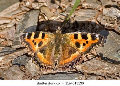 An Indian tortoiseshell butterfly (Aglais caschmirensis) seated on ground by spreading beautiful wings, a close up top view of open wings in abstract background, Pangot, Nainital, Uttarakhand, India