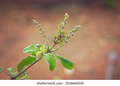 Indian Traditional Tulsi Plant