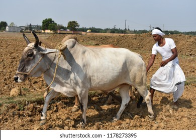 Indian village farmer plowing his field with bullocks and celebrating Odisha's agrarian festival akshay tritiya