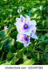 Indian watter flower, that can only seen in watter bodies