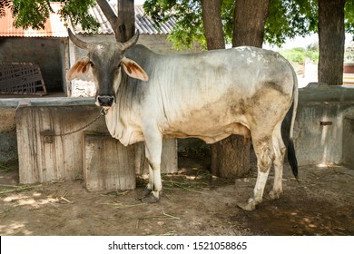 Indian white cow  tied  up in chain  standing in farm house of farmer in Kutch ,Gujarat . Hindus consider cow as holy and worship  all over India.