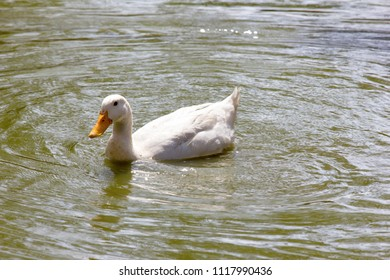 Indian White duck