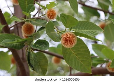 indian wild cinchona. cinchona tree