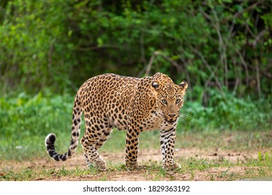 Indian wild male leopard or panther walking head on with an eye contact in natural green background during monsoon season wildlife safari at forest of central india - panthera pardus fusca