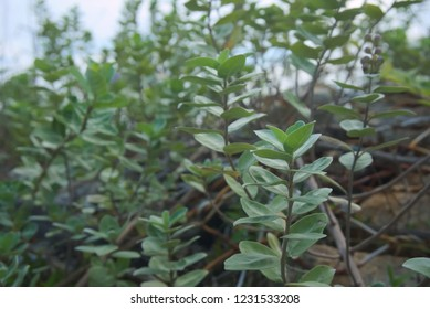 A Indian Wild Peper tree use herbal extraction, making medicine. The leaves can be used to extract essential