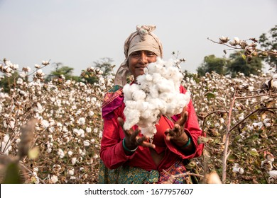 Indian woman harvesting cotton in a cotton field, Maharashtra, India.
