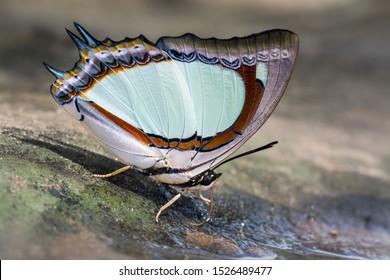 Indian Yellow Nawab or Polyura jalysus jalysus (C. & R. Felder, 1867) :  beautiful light green butterfly eating on ground, Thung saieang luang, Thailand.