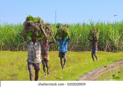 Indian Young man Carrying the Rice Plants