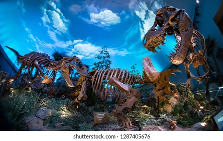 Indianapolis, IN / USA - January 13 2019: Children's Museum Dinosphere T-Rex and Triceratops dinosaur fossil skeleton bones fighting in epic battle